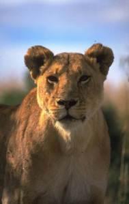 Lion - Rapport Post