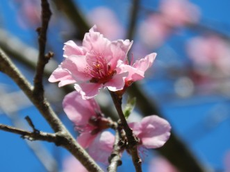 pink-flowers-blue-sky